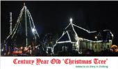 Century Year Old 'Christmas Tree'